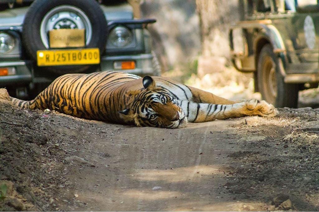 fotosafari_Jaren_fhs_tiger i india - fotosafari