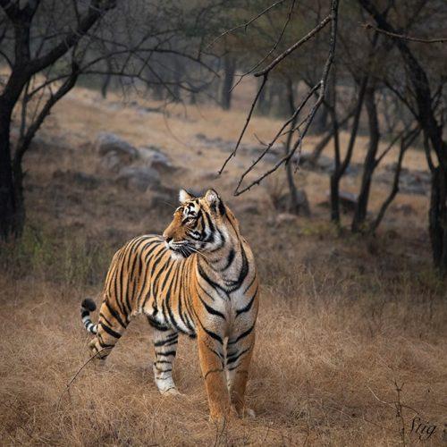 Fotografere vill tiger i India